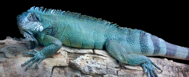 blue iguana safari tour
