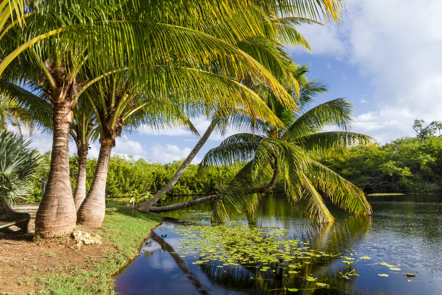 Palm trees beside a pond a pond in Queen Elizabeth II Botanic Park on Grand Cayman, Cayman Islands