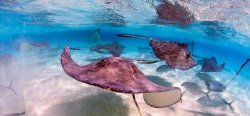 stingrays grand cayman